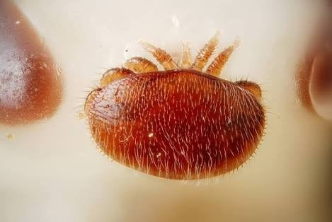 The Destructor: What is Varroa Mite?