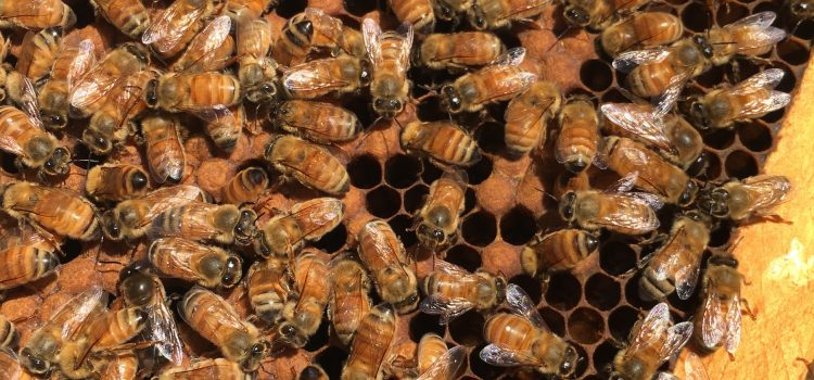 Thermoregulation of the Honey Bee Colony