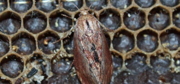 Wax Moths: their impact and control