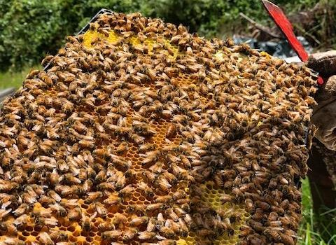 The Caste System of the Honey Bee