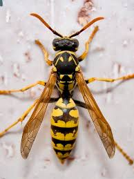 The Dangers of European Wasps