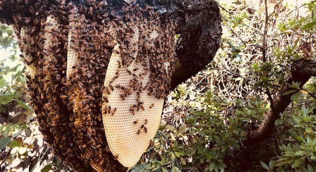 wild beehive