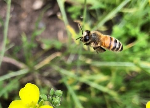 Bees: The Vital Pollinators