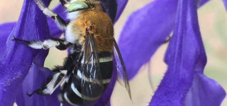 Blue Banded Bees in Australia