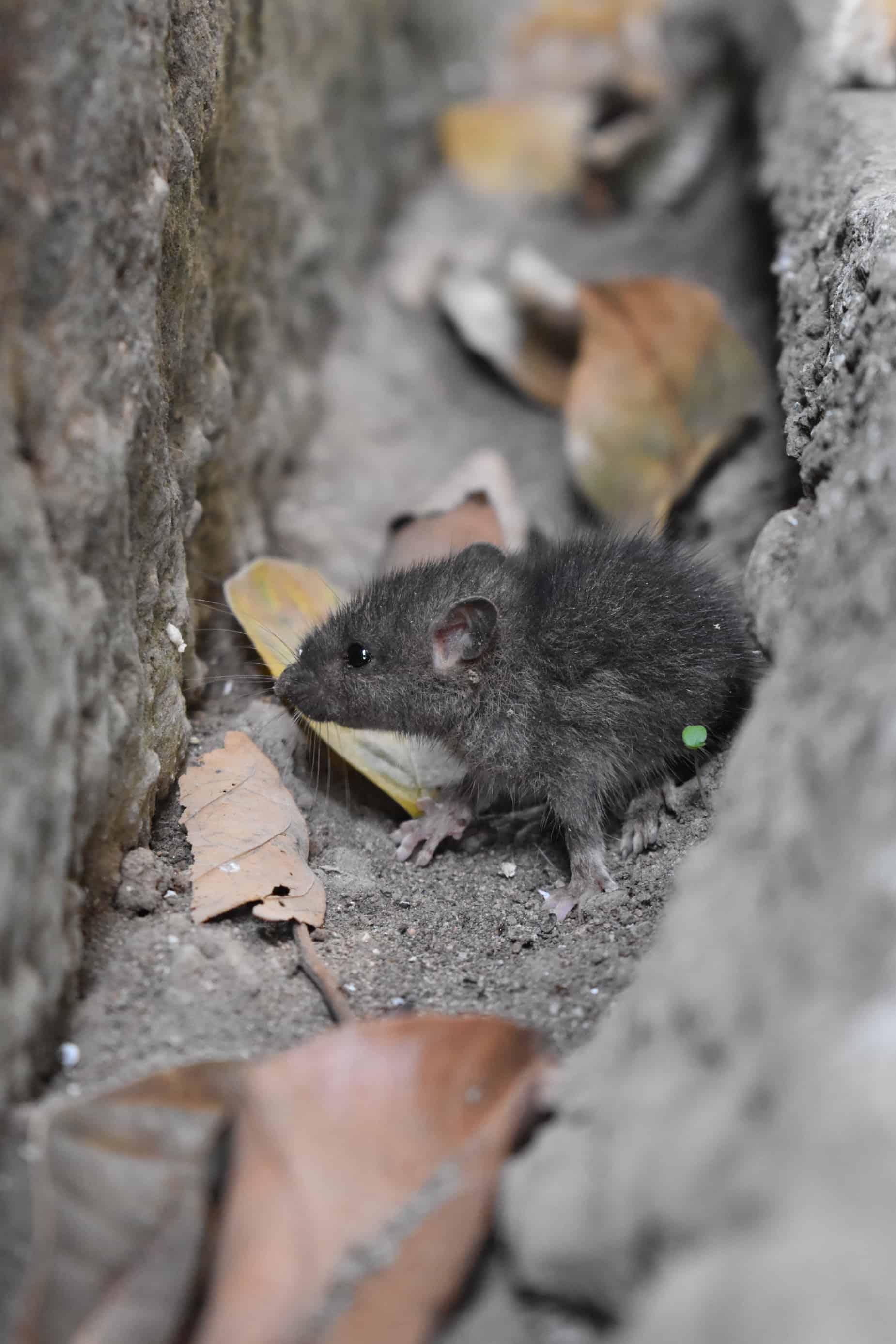 Mouse Control Melbourne