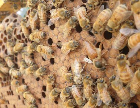 Daniel Curless Bees