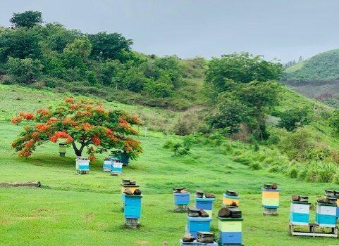 Bees Fiji