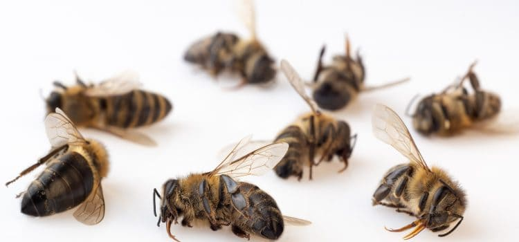 Why are the honeybees dying?